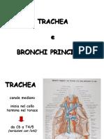 Trachea e Polmone