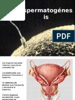 esperamtogenesis