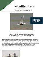 Black Bellied Tern