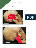 Muschii capului