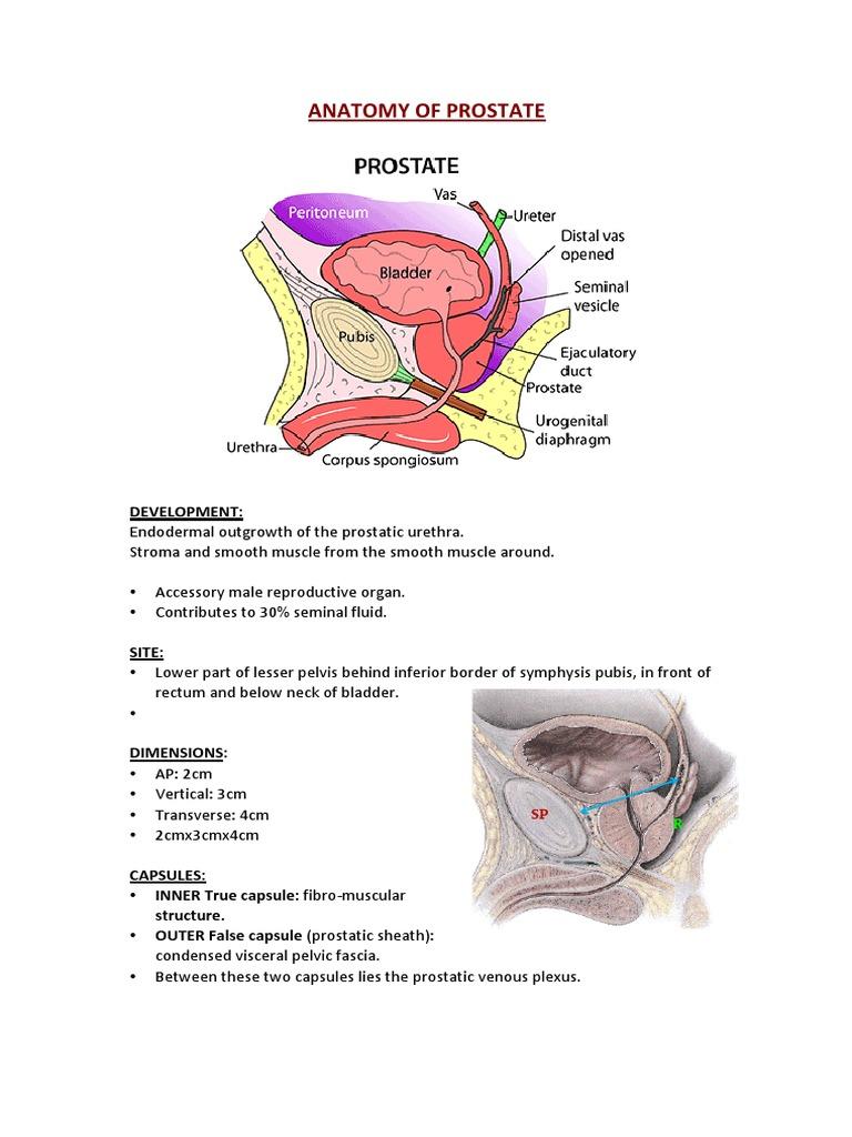 Anatomy of Prostate   Prostate   Urinary Bladder