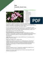 Inflorescencia Laurel de Jardín