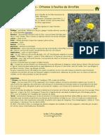 Othonna, Othonnopsis cheirifolia