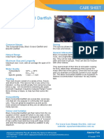 Black Scissortail Dartfish