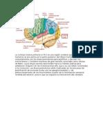 Anatomia(Cerebro)