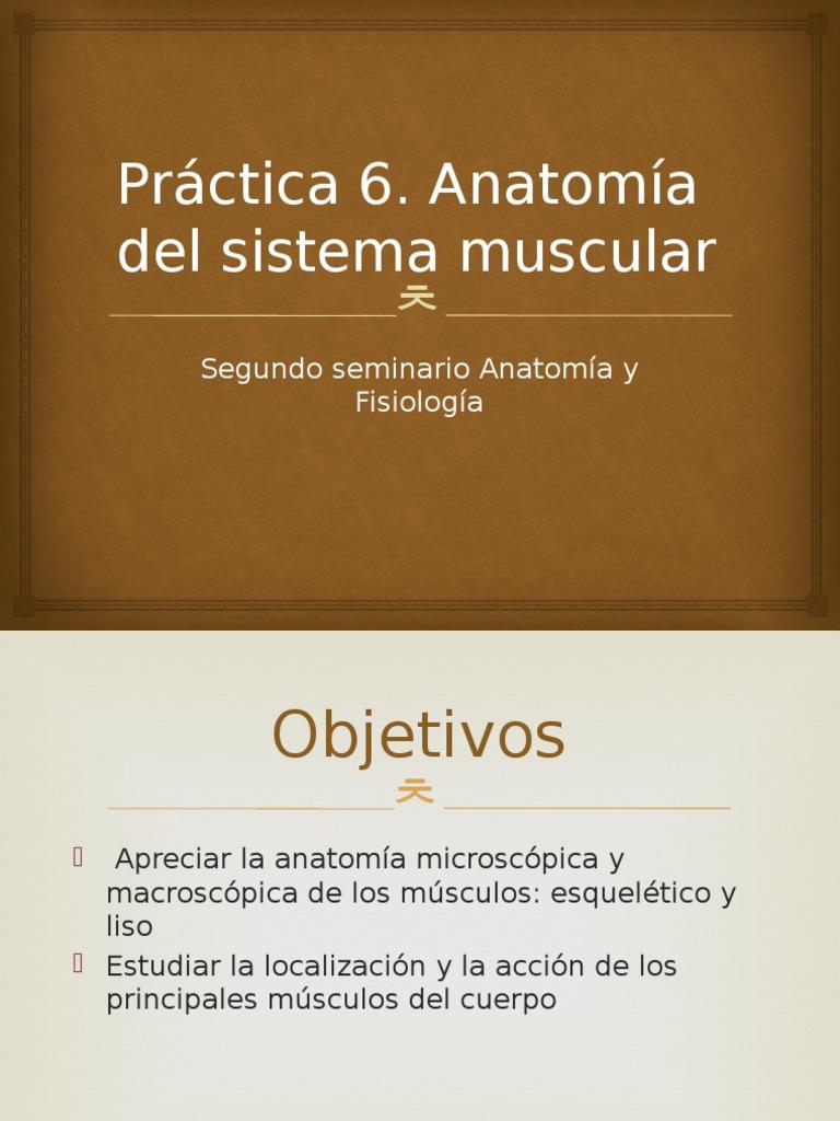 Lujo Músculo Esquelético Anatomía Microscópica Galería - Imágenes de ...