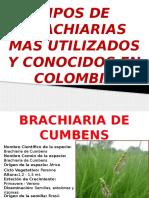 brachiarias.pptx