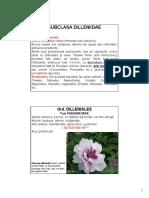k Subcl Dileniidae A