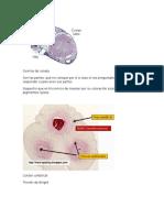 histologia ovarios de coneja