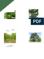 Especies de Arboles, Caoba, Ceiba, Melina, Cedro, Etc Imagenes