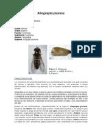 Taxonomía y Caracterización de Allograpta piurana
