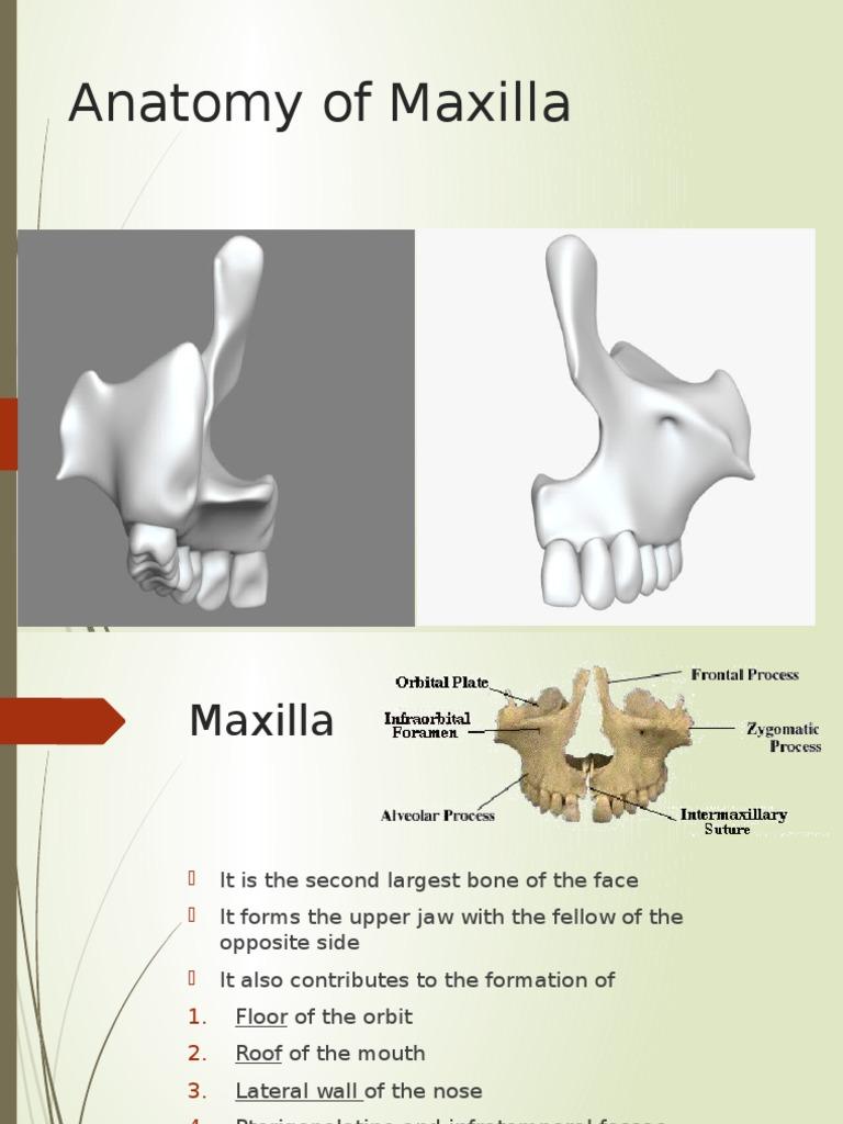 Anatomy of Maxilla   Primate Anatomy   Human Head And Neck