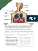 antomia, fisiologia, higiene y enfermedades del aparato Repirator i o