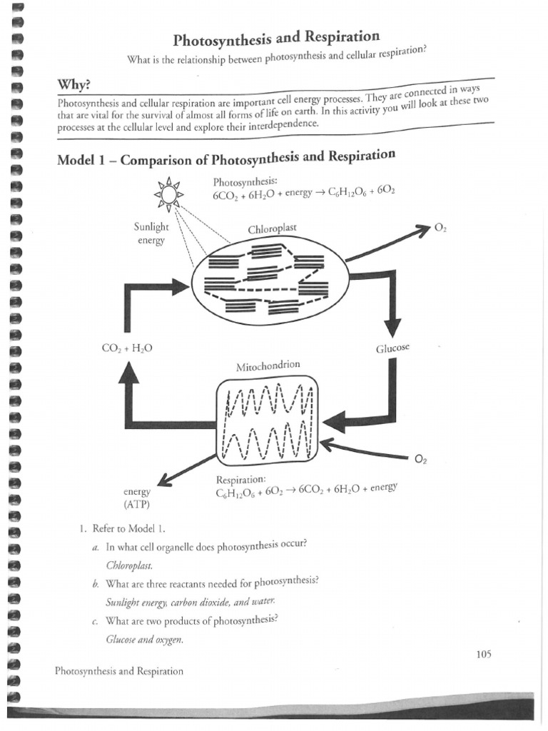 Respiration and Photosynthesis KEY – Photosynthesis and Respiration Worksheet