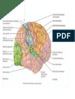 Áreas Del Lenguaje y Pensamiento Del Hemisferio Cerebral Derecho