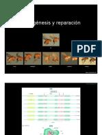 Mutaciones y Reparación