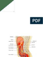 Imágenes de vísceras abdominopélvicas