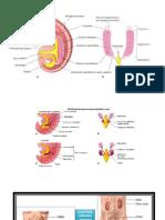 Anatomia y Embrio Urinario