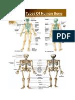 types of human bones