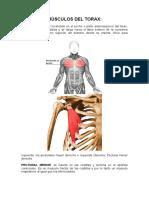 Músculos Del Torax y Abdomen