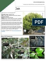 ID Quercus Ilex (Evergreen Oak)
