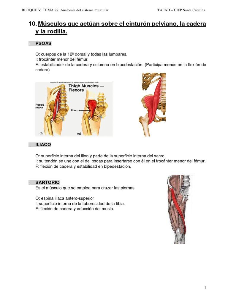 Lujoso Aducción En Anatomía Elaboración - Imágenes de Anatomía ...