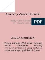 Anatomy Vesica Urinaria