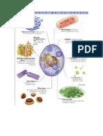 organulos celulares