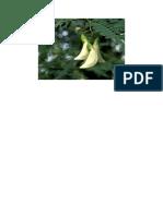 Bunga Turi