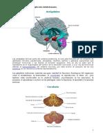 El Cerebro y Sus Partes Explicadas Detalladamente