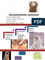 Ancylostoma caninum
