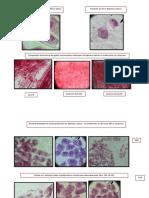 Inducción de poliploidia con aplicación de colchicina en plantas de rabanito (Raphanus sativum).