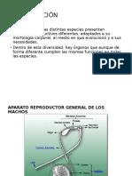 Anatomia Del Aparato Rep. Del Macho