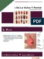 Anatomía de La Vulva
