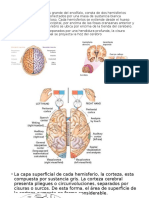 neuroanatomiia