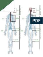 El Sistema Nervioso Para Imprimir en Colorear