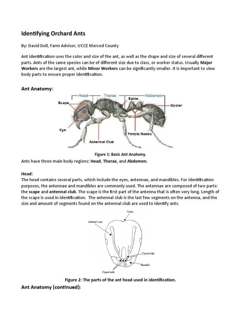 Almond Orchard Ant Identification   Ant   Hexapoda