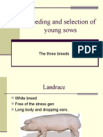 Breeding and Selection of Young Sows