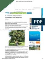 Taiwanese Grow Dwarf Mango Trees