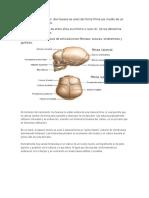 Articulaciones Fibrosas 2
