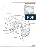 Brain Saggital Section Labelled