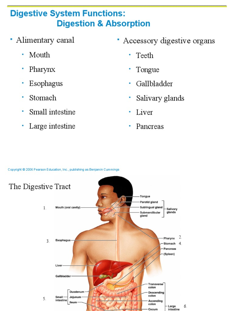 scit 1408 applied human anatomy and physiology ii - digestive system