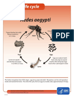 Mosquito Lifecycle Aedes Aegypti
