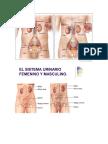 Sistema Urinario del cuerpo humano