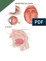 Ficha Nombres de órganos de los sentidos