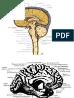 Cerebro Medial
