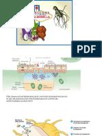 Present Ac i ó n 1 Salmonella