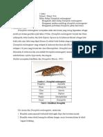 Laporan Praktikum Siklus Hidup Drosophila Melanogaster