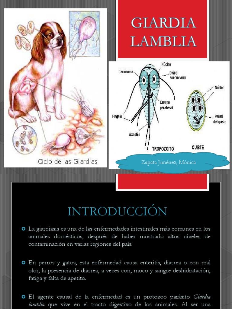 Terapia giardia duodenalis, Antigen Giardia (materii fecale) Terapia giardia duodenalis