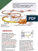 La Neurona y Sus Partes
